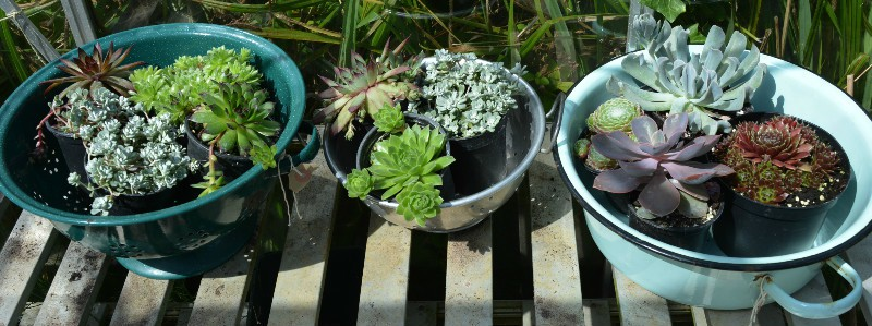 Plant up succulents in vintage containers
